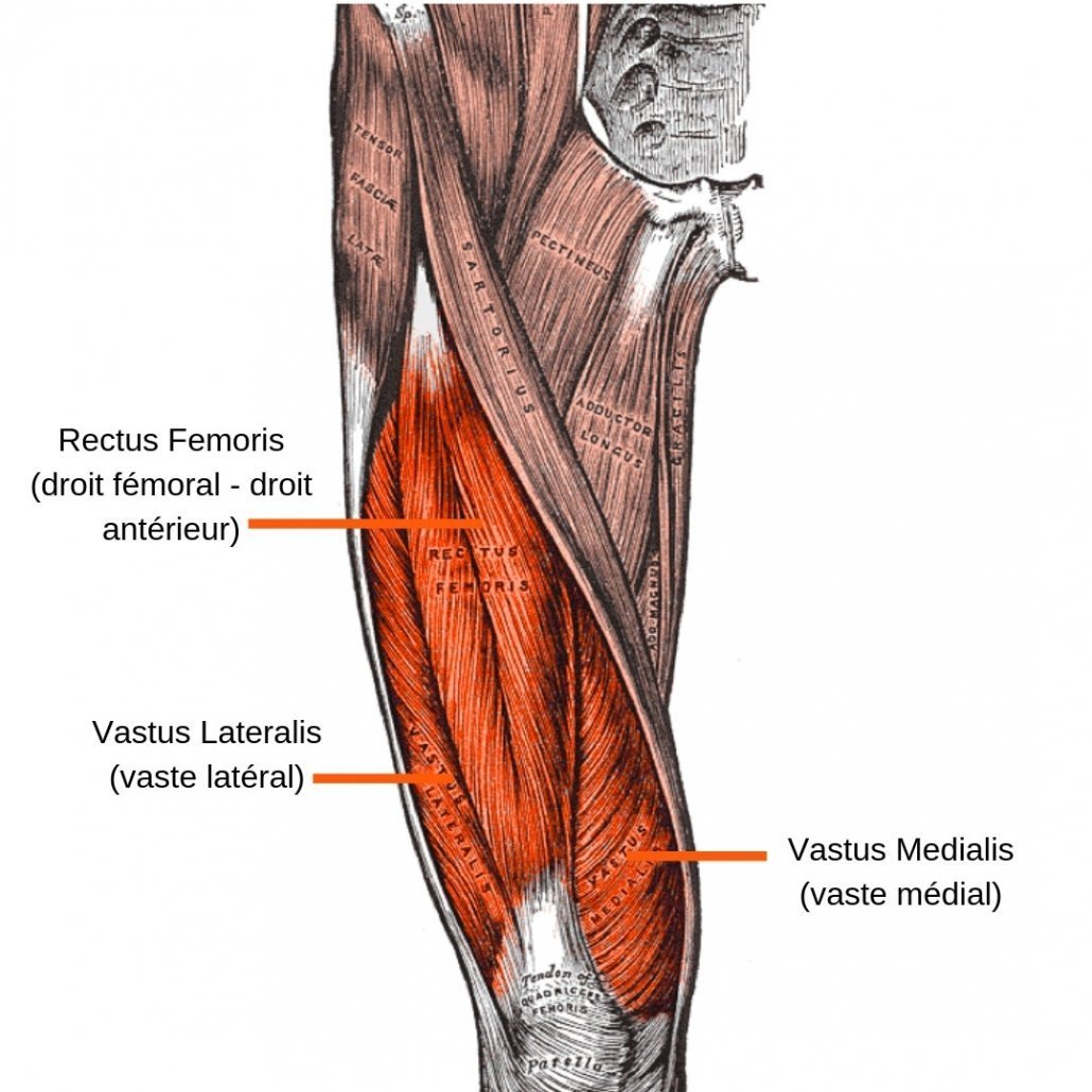 stretchingpro-etirements-quadriceps-anatomie