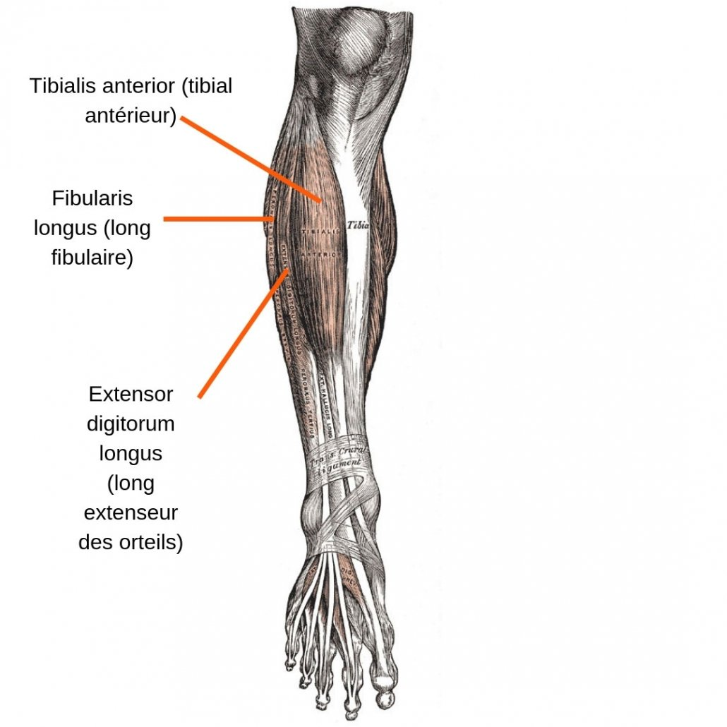 stretchingpro-etirements-tibia-anterieur-anatomie