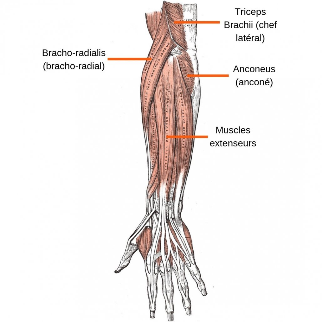 stretchingpro-etirements-bras-anatomie-avant-bras