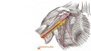 stretchingpro-sciatique cou