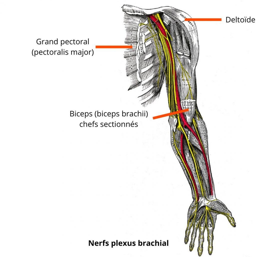 stretchingpro-nerfs-plexus-brachial-bras-entier