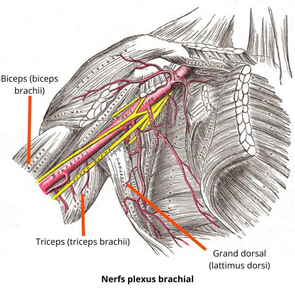 stretchingpro-nerfs-plexus-brachial-bras-haut
